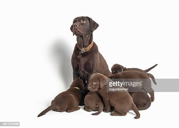 Group of Labrador Retriever puppies on white background