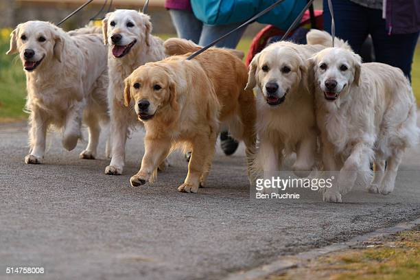 A group of labradors arrive with their owners on the second day of Crufts Dog Show on March 11 2016 in Birmingham England First held in 1891 Crufts...