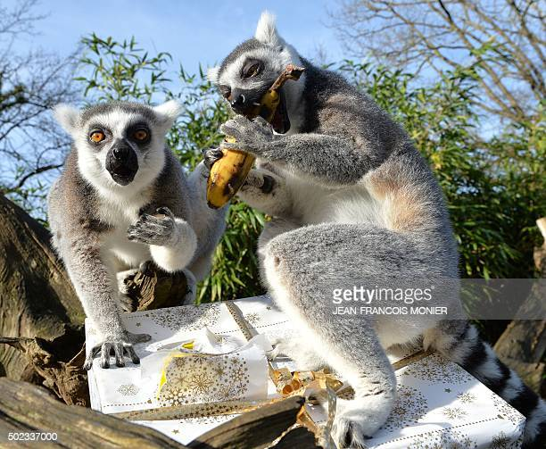 A group of lemurs open a Christmas package filled with food on December 23 2015 at the zoo in La Fleche northwestern France / AFP / JEANFRANCOIS...