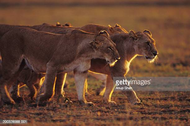 Group of lionesses (Panthera leo), standing on grass savannah, Kenya