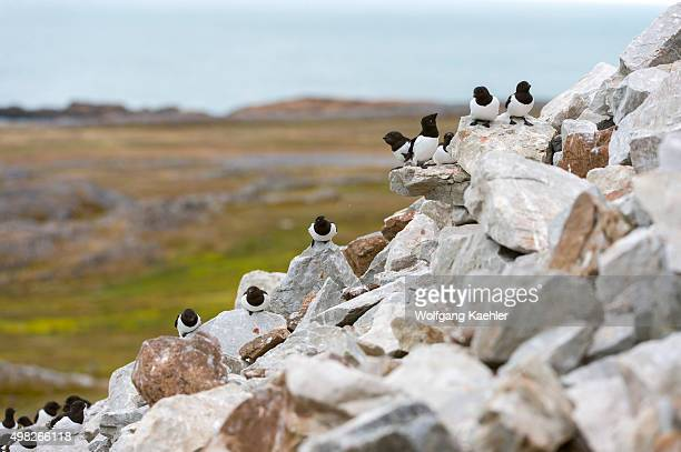 Group of little auks or dovekies at their nesting site in a rocky hillside at Varsolbukta in Bellsund, which is a 20 km long sound and part of the...