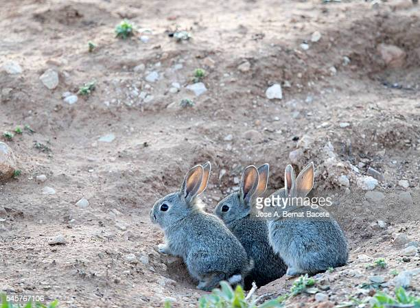 Group of little bunnies field, peering from his burrow ( Species Oryctolagus cuniculus.)