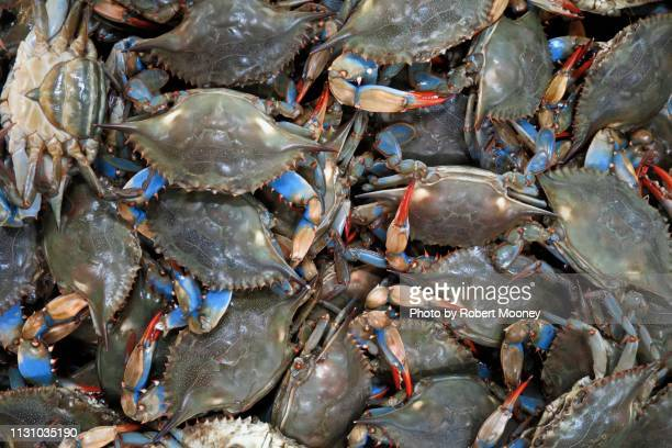 a group of live blue crabs, seen from above - blue crab stock photos and pictures