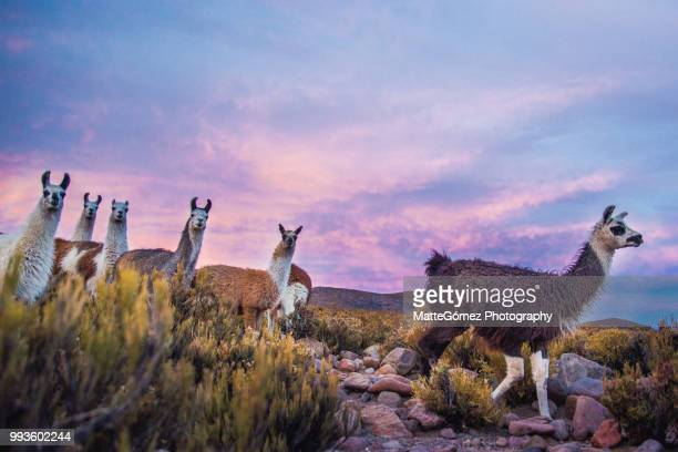 group of llamas walking on tunupa at sunset, bolivia - llama animal fotografías e imágenes de stock