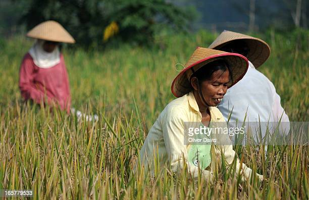 CONTENT] Group of local women villagers working on a paddy field and collecting the rice harvest In Central Java in the countryside surrounding...