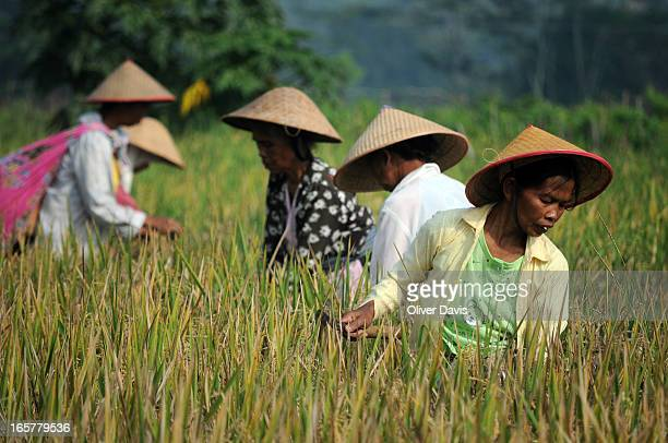 Group of local women villagers working on a paddy field and collecting the rice harvest. In Central Java, in the countryside surrounding Borobudur,...