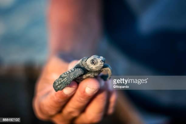 group of loggerhead sea turtle (caguama) - baja california peninsula stock pictures, royalty-free photos & images