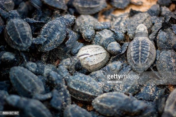Group of Loggerhead sea turtle (Caguama)