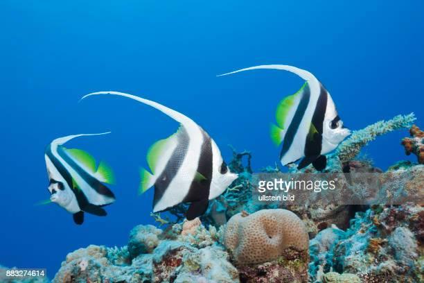Group of Longfin Bannerfish Heniochus acuminatus Great Barrier Reef Australia