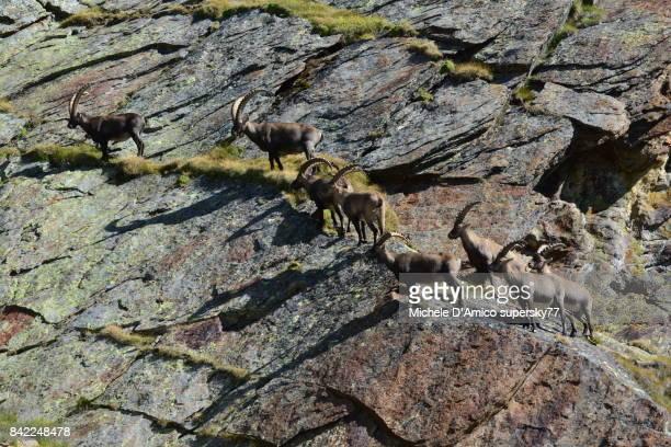 group of male alpine ibexes on the alpine grassland - monte rosa foto e immagini stock