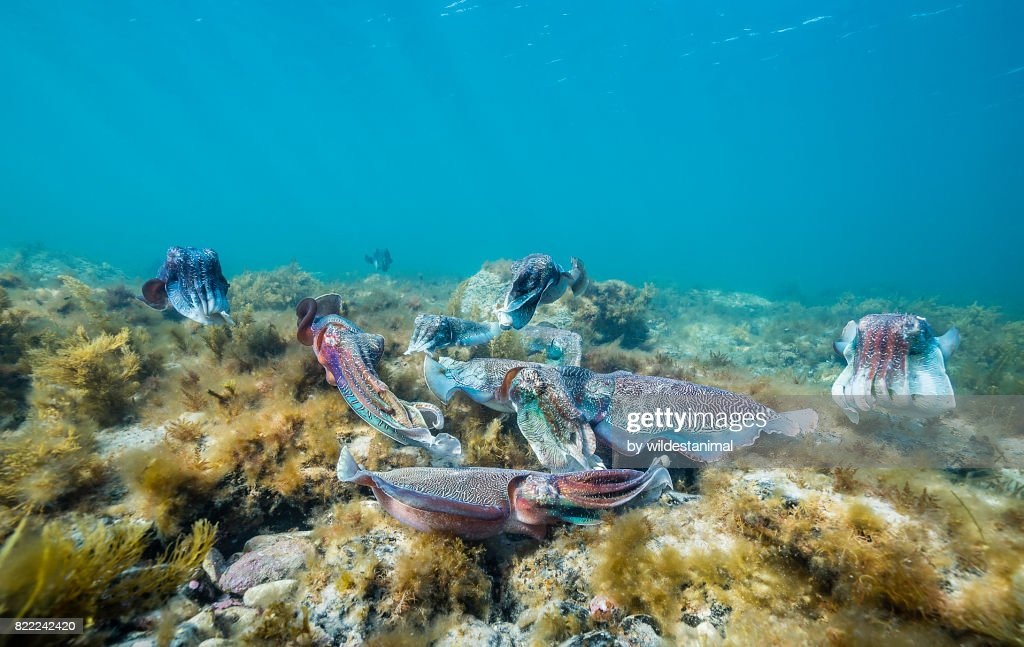 Group of male Australian giant cuttlefish males fighting over a female which is trying to lay her eggs, Point Lowly, South Australia. : Stock Photo