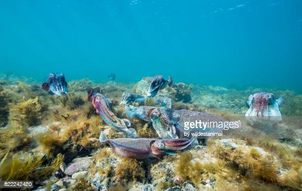 Group of male Australian giant cuttlefish males fighting over a female which is trying to lay her eggs, Point Lowly, South Australia.