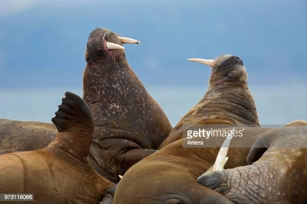 Group of male walruses bulls fighting on beach at Phippsoya in Sjuoyane archipelago north of Nordaustlandet Svalbard Norway