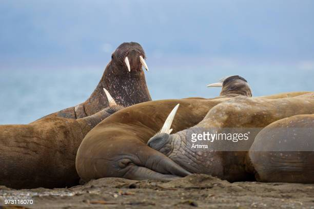 Group of male walruses resting on beach at Phippsoya in Sjuoyane archipelago north of Nordaustlandet Svalbard Norway