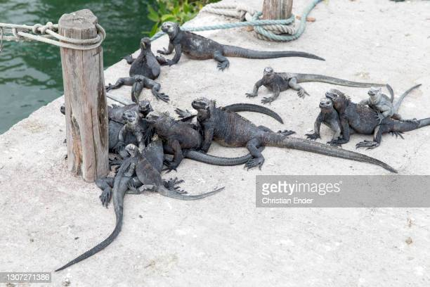 Group of Marine Iguanas stand at a dock in Santa Cruz Island on February 18 in Galapagos, Ecuador. These animals are part of the Iguanidae family,...