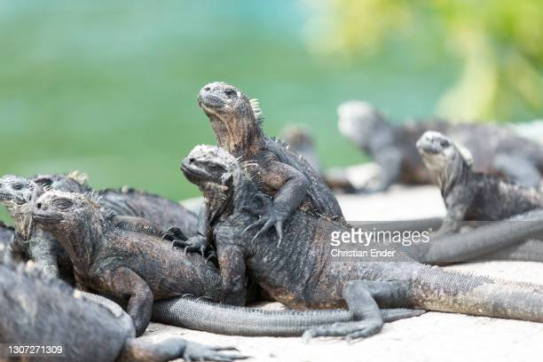 Group of Marine Iguanas stand in Santa Cruz Island on February 18 in Galapagos, Ecuador. These animals are part of the Iguanidae family, remarkable...
