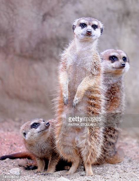 A group of meerkat stand and watch visitors in an enclosure at the 'ZOOM' Zoo in Gelsenkirchen western Germany on March 12 2012 AFP PHOTO / PATRIK...