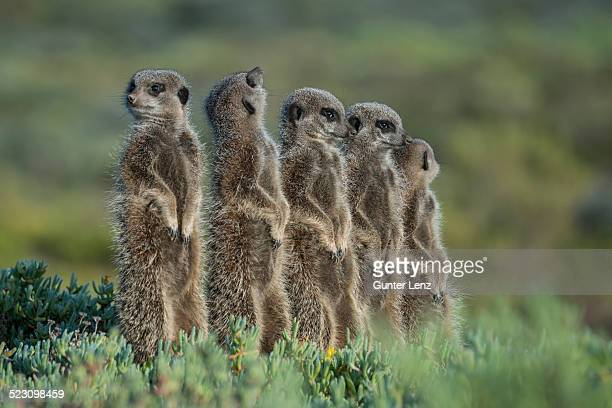 group of meerkats -suricata suricatta-, one looking up, little karoo, western cape, south africa - medium group of animals stock pictures, royalty-free photos & images