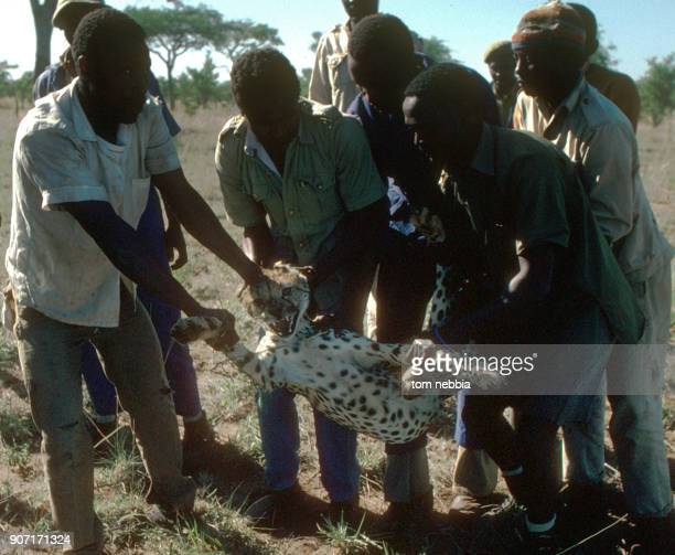 A group of men capture a cheetah on the Serengeti Plains Tanzania 1973 The animal was designated for export to a zoo