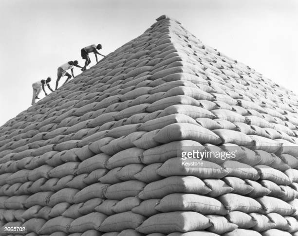 A group of men climbing a pyramid built from sacks of groundnuts near Kano Northern Nigeria