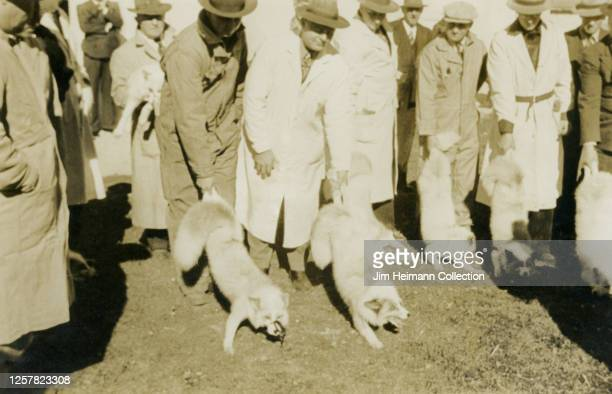 Group of men in coats and hats prepare for a sporting competition involving foxes, as they hold the animals by their tails, circa 1931.