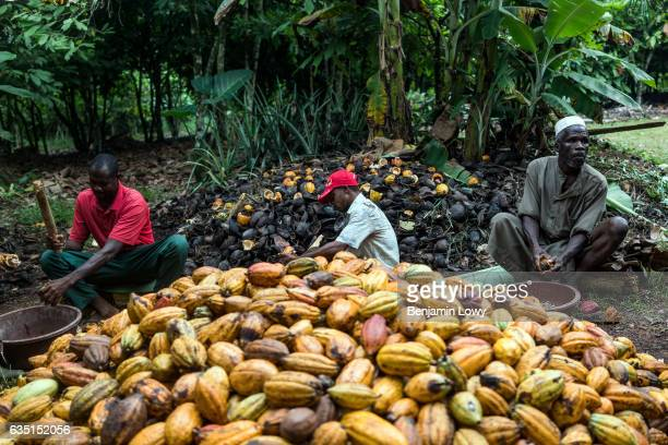 A group of men sit in a tight circle around a mound of cocoa melons breaking them open and scooping the fleshy seeds out Eventually the 'meat' of the...
