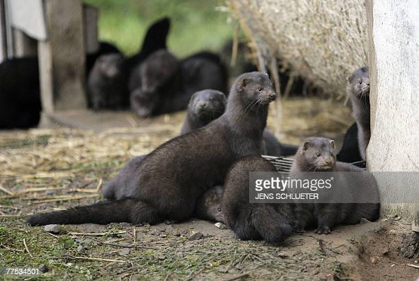 Group of mink are on the lose after they and more than 10,000 others were released from a breeding facility in the eastern German town of Grabow by...