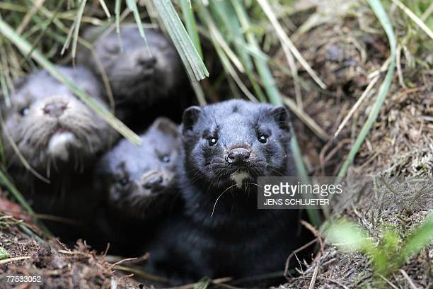 Group of mink take shelter in a hole in the ground after they and more than 10,000 others were released from a breeding facility in the eastern...