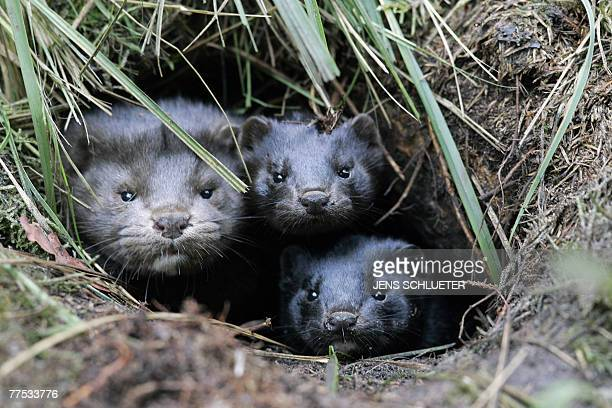A group of mink take shelter in a hole in the ground after they and more than 10000 others were released from a breeding facility in the eastern...