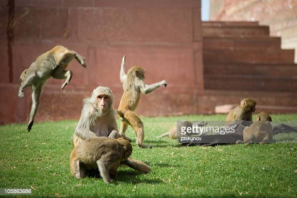 Group of Monkey, sacred indian creature, downloading improves your carma.