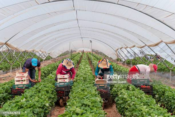 A group of Moroccan laborers pick strawberries in a greenhouse during the harvest on May 07 2020 in Lepe Spain According to Covid19 safety measures...