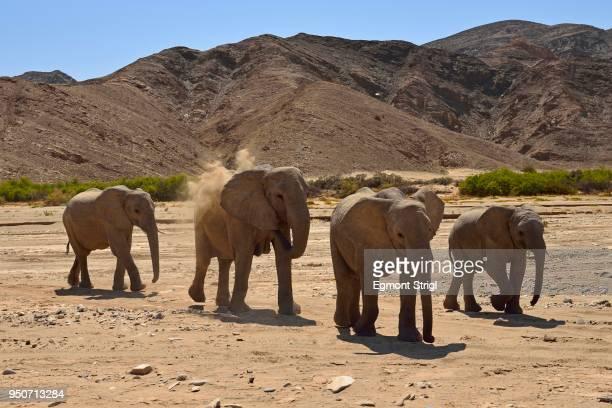 group of namibian desert elephantsn bush elephant (loxodonta africana), hoanib river, namib desert, kaokoland, kaokoveld, kunene regionnamibia - desert elephant stock pictures, royalty-free photos & images