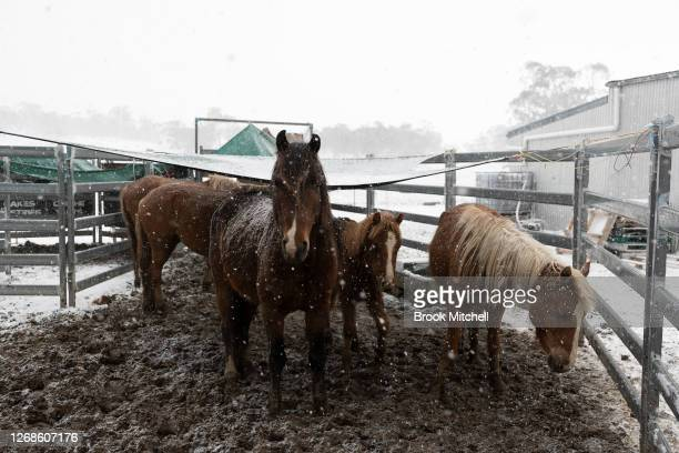 A group of newly rehomed Brumbies are seen as heavy snow falls on the White Alpine Equine horse farm on August 22 2020 in Adaminaby Australia This...