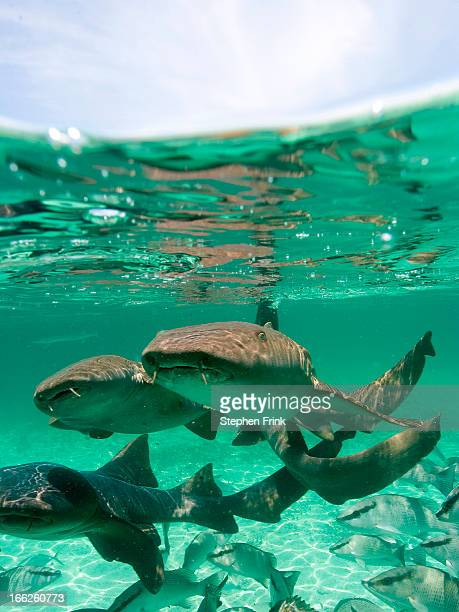 group of nurse sharks - nurse shark stock photos and pictures