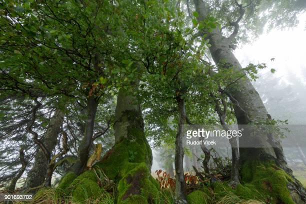 Group of old gnarled beech trees in a fog, lush foliage
