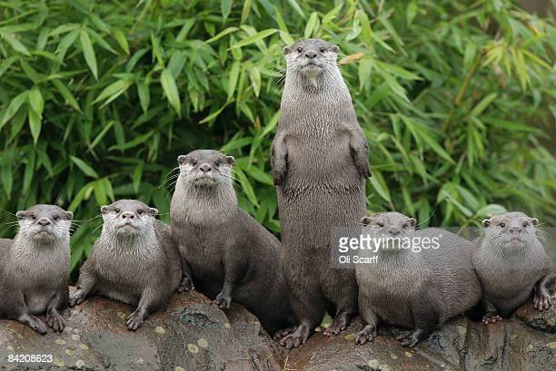A group of Oriental smallclawed otters line up on a rock at the ZSL London Zoo during the zoo's annual stocktake on January 8 2009 in London England...