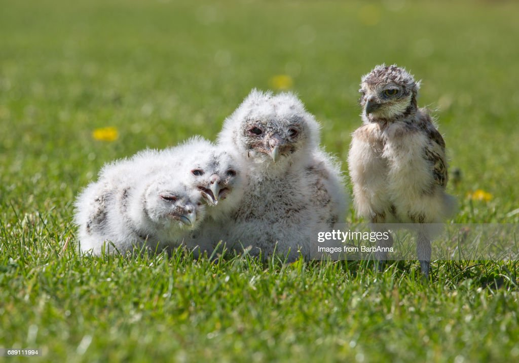 Group of Owlets - Three Baby Tawny Owls and One Baby Burrowing Owl, all captive bred : Stock Photo
