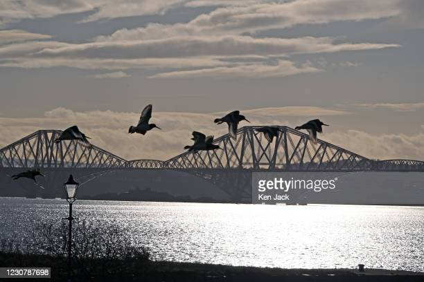 Group of oystercatchers is silhouetted against the Forth Bridge as they fly above the Fife Coastal Path in winter sunshine, on January 25 in Dalgety...