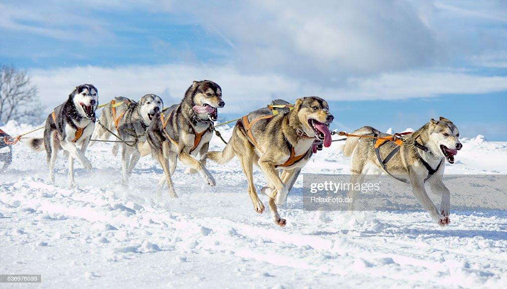 Group of 息切れシベリアンハスキー雪の中の犬のそり) : ストックフォト