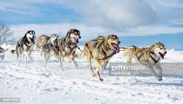 Group of panting  Siberian husky sled dogs running in snow
