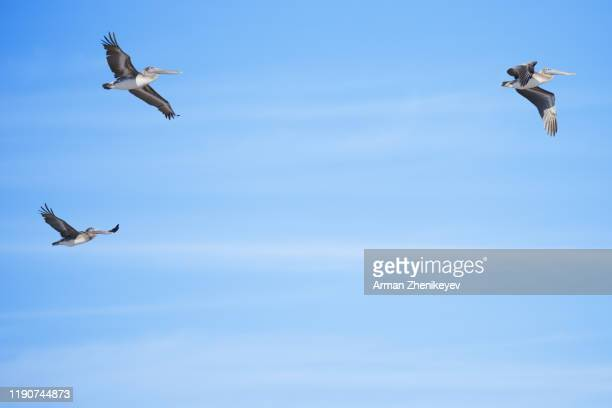 group of pelicans flying in the sky - arman zhenikeyev stock pictures, royalty-free photos & images