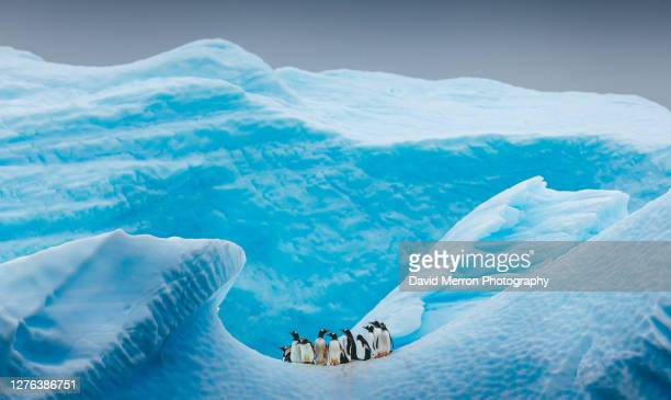 a group of penguins stand atop a vibrant blue iceberg in antarctica - animal stock pictures, royalty-free photos & images
