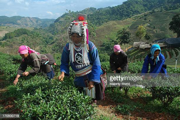 A group of people from the ethnic Akha community collecting tea leaves in the Choke Chamroen Tea Plantation in Chiangmai Thailand December 17 2007
