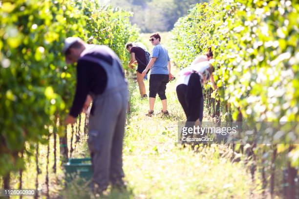 group of people harvesting grape in vineyard - grape harvest stock pictures, royalty-free photos & images