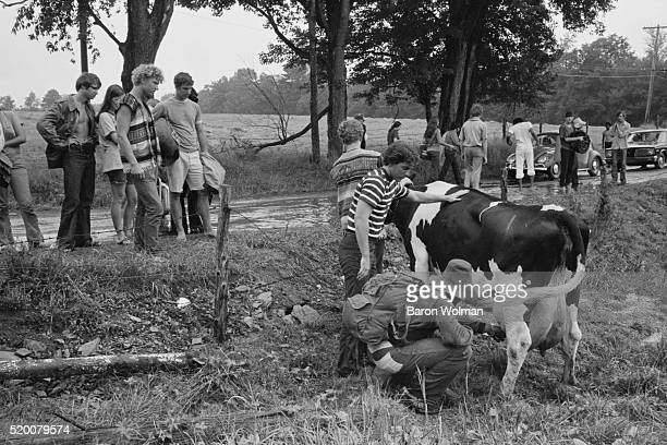 A group of people milk a cow at the Woodstock Music Art Fair Bethel NY August 15 1969