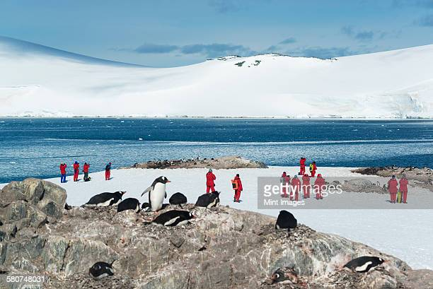 Group of people observing a small colony of Gentoo Penguins sitting on a rock in the Antarctic.