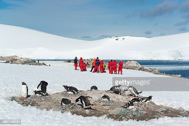 group of people observing a small colony of gentoo penguins sitting on a rock in the antarctic. - atlantic islands stock pictures, royalty-free photos & images