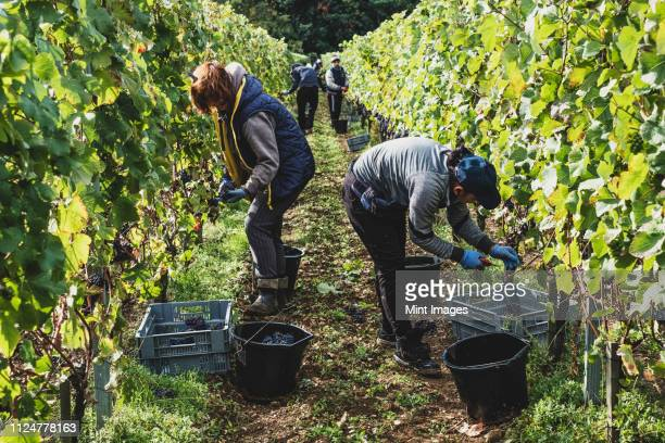 group of people standing in a vineyard, harvesting bunches of black grapes. - grape harvest stock pictures, royalty-free photos & images