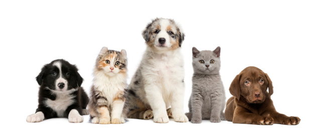 Group of pets: kitten and puppy on a raw 496114613