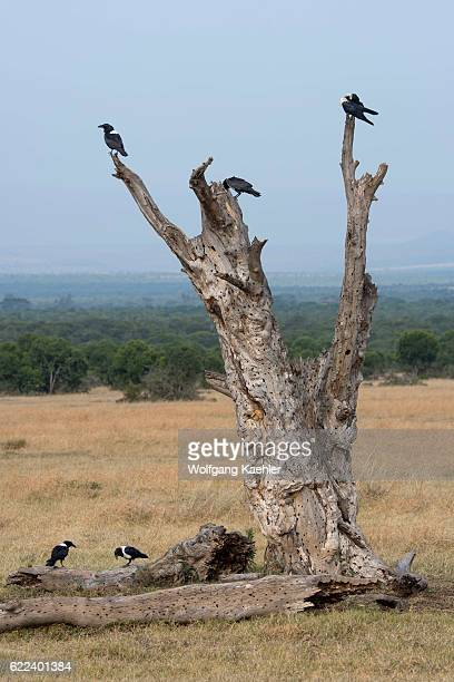 A group of pied crows sitting on a tree in the Ol Pejeta Conservancy in Kenya